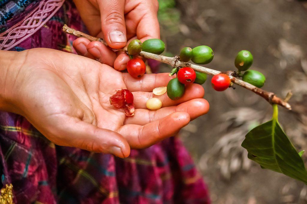Coltivazione del caffè in Guatemala